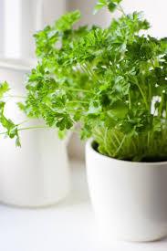best 25 growing herbs indoors ideas on pinterest growing plants