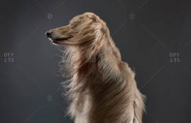 afghan hound long haired dogs afghan hound dog with wind blown fur on black background stock