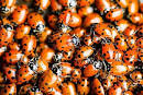 How To Start a Ladybug Garden! The benefits of having ladybugs in ...