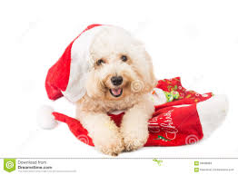 smiling poodle dog in santa costume posing with christmas orname