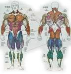 Human Muscles/Musculature | Warren Tang's Blog