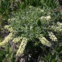 Image result for Baptisia bracteata var. leucophaea