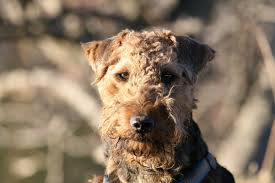 Welsh Terrier Dog Breeds