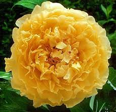 Tree With Bright Yellow Flowers - 344 best garden shrubs climbers images on pinterest flowers