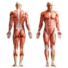 Image result for human body