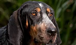 training a bluetick coonhound to hunt bluetick coonhound breed information