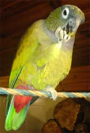 Maitaca-verde