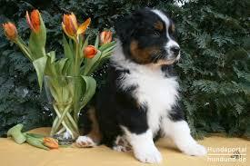 australian shepherd qualities australian shepherd dog aussie foto 44017 hundund de