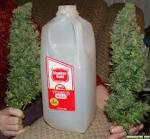 g-13 marijuana