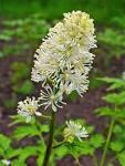 File:<b>Actaea</b> spicata 002.JPG