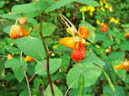 jewel weed images