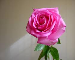 هذه الوردة ....... images?q=tbn:ANd9GcQ
