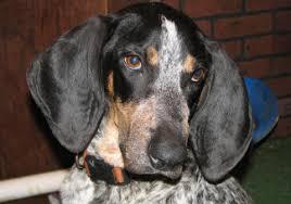 bluetick coonhound puppies for sale in ohio davis branch blueticks about us