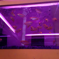 fancy betta fish yelp