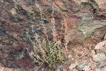 Vascular Plants of the Gila Wilderness-- Hedeoma nana