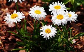 winter flowers in india winter flowers name and images flowers