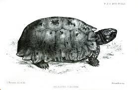 Forsten's tortoise