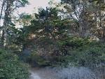 Image result for Cupressus goveniana