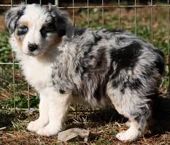 australian shepherd x pomeranian for sale lobo u0027s australian shepherds