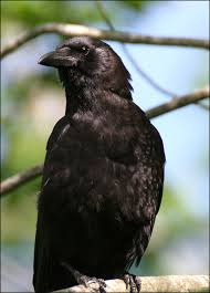 اذكى انواع الطيور اذكى الطيور الطيور الماكره طائر الغراب images?q=tbn:ANd9GcQ