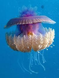 True jellyfishes