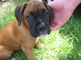 boxer dog uk boxer dogs lessons tes teach