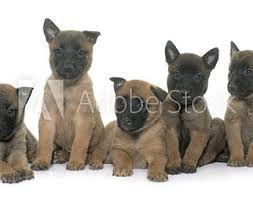 belgian malinois ear cropping home about us