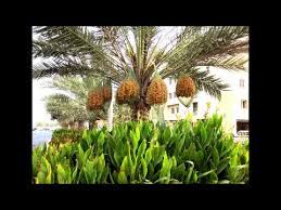 Date Palm Tree   Dubai   YouTube