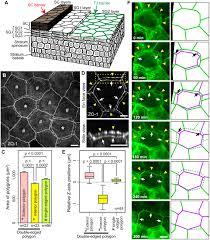 epidermal cell turnover across tight junctions based on kelvin u0027s