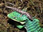 Image result for Abronia bogerti