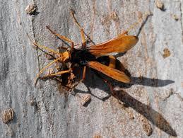 Spider wasps