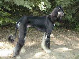 afghan hound long haired dogs afghan hound just another dog website