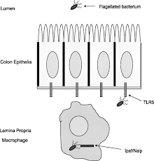 tlrs in the gut ii flagellin induced inflammation and