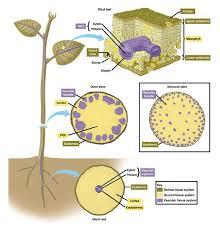 Bitkisel Dokular ve Özellikleri