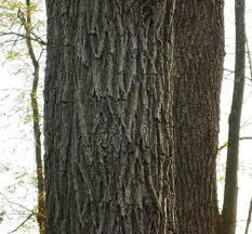 White Oak Bark Trees Uconnladybug U0027s Blog