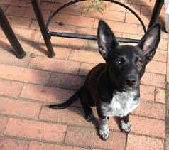 belgian sheepdog chow mix we were told a lab mix until the ears happened aww