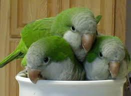 %name Sevda Papağanının Üremesi Hakkında Geniş Bilgi