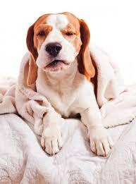 Что делать, если собака кашляет