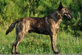 belgian sheepdog chow mix dutch shepherd dog breed information american kennel club