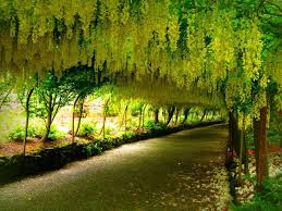 Tree With Bright Yellow Flowers - the golden shower tree is the national tree of thailand and it u0027s