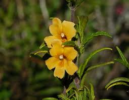 Flowers Plants by Facts About The Monkey Flower Information For Growing And Care Of