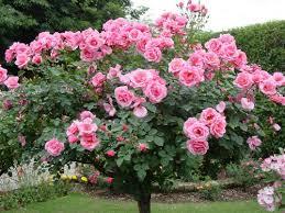 الورد الطائــــــــفـــي