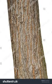 White Oak Bark Tree Bark Texture Isolated On White Stock Photo 364796642