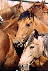 wild horses in captivity