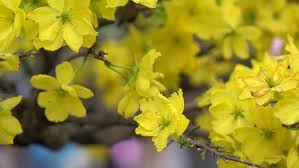 Tree With Bright Yellow Flowers - close up bright yellow turnip flowers in early spring stock