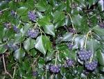 File:<b>Hedera</b> hibernica with