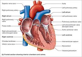 Anatomy And Physiology Of Lungs Human Anatomy And Physiology Android Apps On Google Play