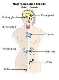 Health   Human Body   Endocrine System