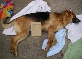 belgian sheepdog crossword clue dog deaths pc u0027let down by the force u0027 mirror online