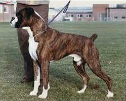 boxer dog uk 1981 british boxer dog champions ukboxerdogs